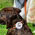 """Duży czekoladowy pies siedzący na trawie z przypinką na obroży """"Śladami czarnego psa""""."""